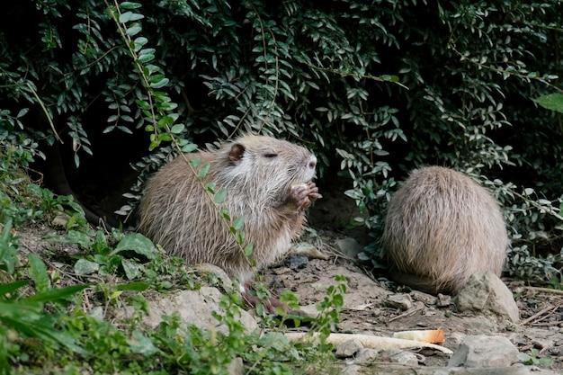 Водяные крысы ищут пищу на раковине пруда Premium Фотографии
