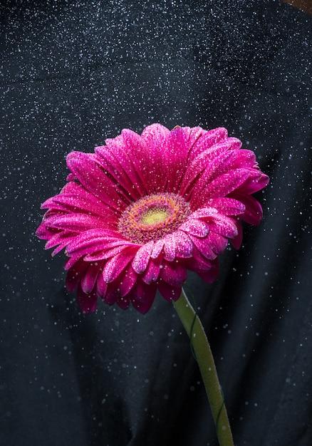 Water spray over red gerbera flower, black background Premium Photo