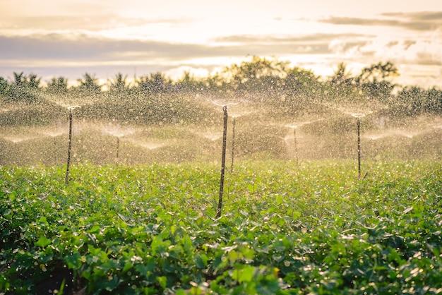 Water sprinkler system working in a green vegetable garden at sunset Premium Photo