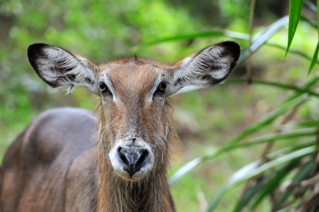 Waterbuck in the nature Free Photo