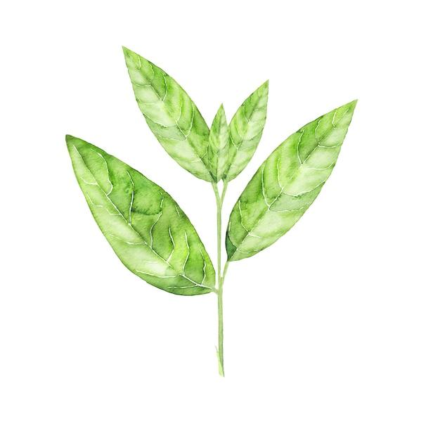 緑茶植物の水彩植物画。孤立した手描きの葉 Premium写真