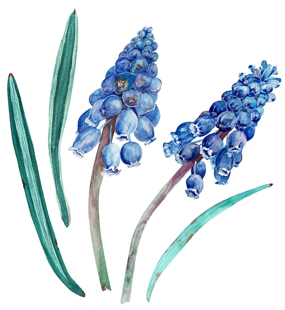 Watercolor cobalt blue muscari with green leaves Premium Photo
