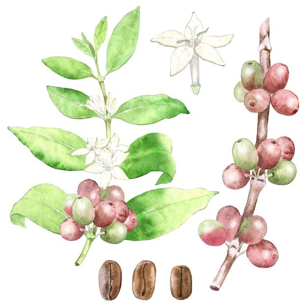 水彩の手描きのコーヒー植物。 Premium写真