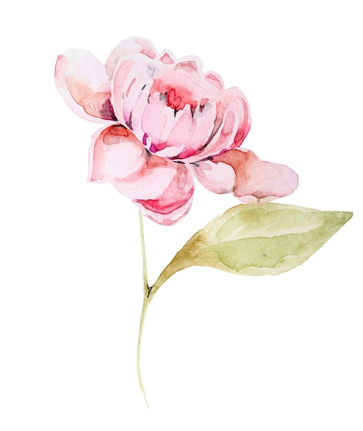 Watercolor hand drawn peony isolated on white background Premium Photo