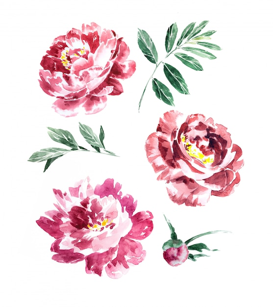 Watercolor hand painted marsala peonies and greenery clipart set isolated. bordeaux flowers design. Premium Photo
