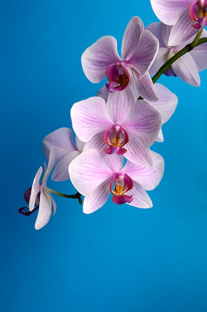 Watercolor orchid branch, hand drawn floral illustration isolated on a blue background Premium Photo