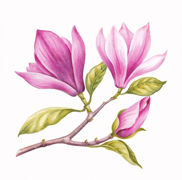 Watercolor pink magnolia. Premium Photo