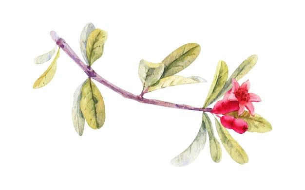 Watercolor pomegranate blossom, isolated on white. hand drawn botanical illustration Premium Photo