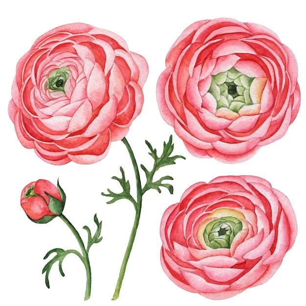 ラナンキュラスの水彩セット、手描きの花のイラストが白で隔離 Premium写真