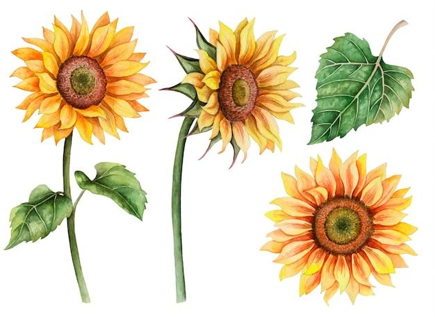 ひまわりの水彩セット、白で隔離される手描き花のイラスト Premium写真