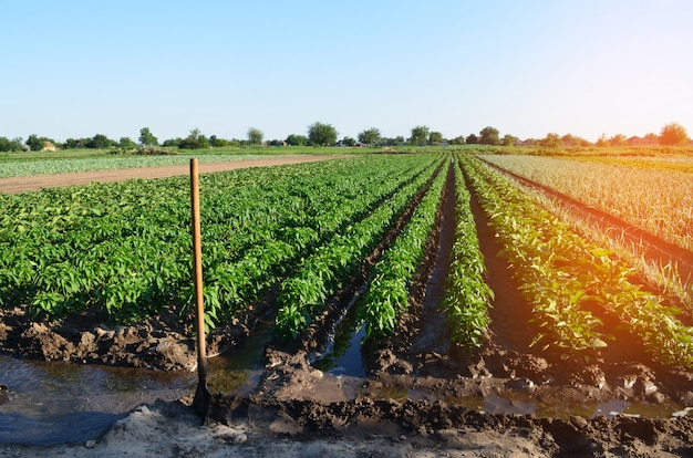 Watering of agricultural crops, countryside, irrigation, natural watering, village Premium Photo