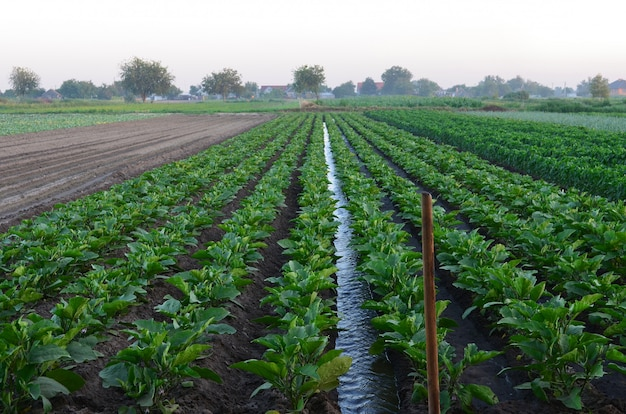 Watering of agricultural crops, natural watering , countryside, village, irrigation Premium Photo