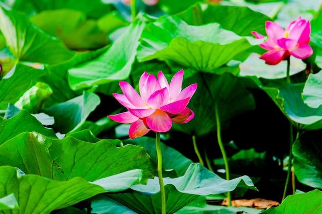 夏の池のスイレンや蓮の花。 Premium写真