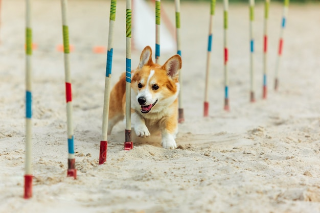Welsh corgi dog performing during the show in competition. Free Photo