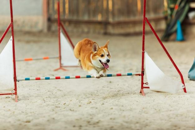 Вельш-корги собака выступает во время шоу в конкурсе. Бесплатные Фотографии