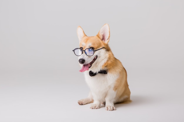 Welsh corgi pembroke in glasses Premium Photo