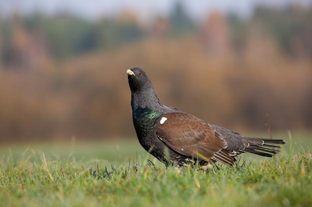 秋の草原で観察するヨーロッパオオライチョウ Premium写真