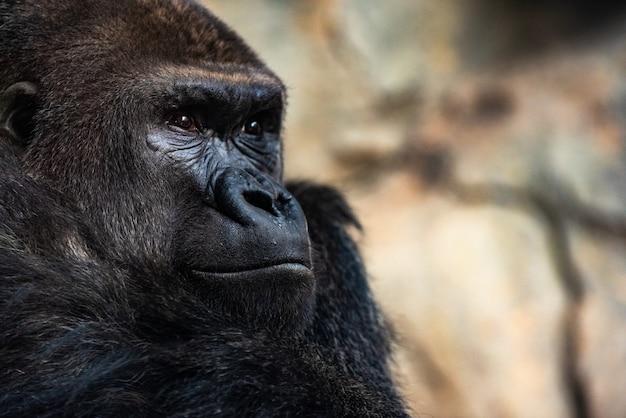 動物園で座っている西部の男性ゴリラ、ゴリラゴリラゴリラ。 Premium写真