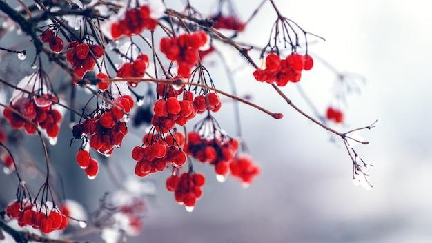 Влажные ягоды калины зимой во время оттепели Premium Фотографии