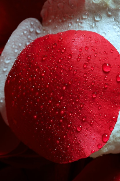 Wet close up macro rose petals, water drops Premium Photo