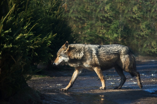 Wet grey wolf in the forest after the rain Premium Photo