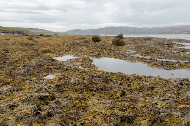 Wet seaweed kelp surface close up at low tide Premium Photo