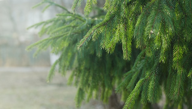 Wet spruce branches in a rainy, foggy day. Premium Photo