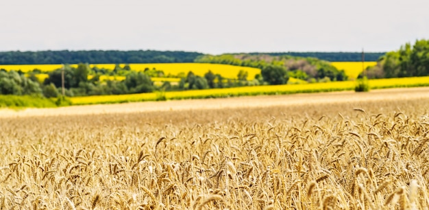 Wheat field on a background of a field with sunflowers.. ears of golden wheat close up. Premium Photo