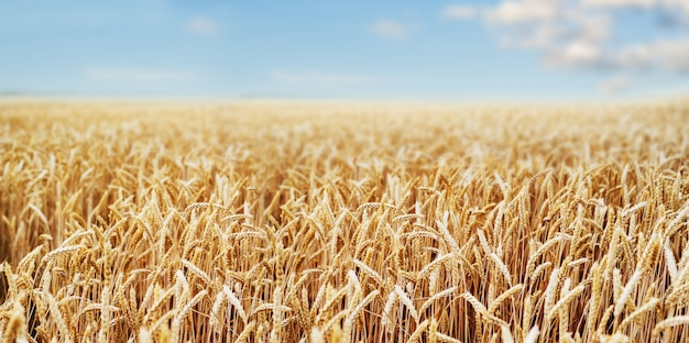 Wheat field ears golden wheat close. wallpaper. Premium Photo