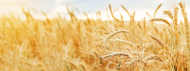 Wheat field ears golden wheat close. wallpaper. Premium Photo