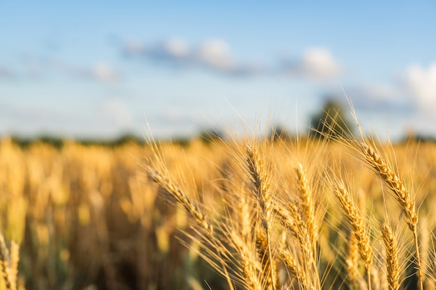 Wheat field ears golden wheat. rich harvest concept. Premium Photo