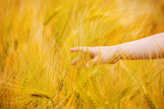 Wheat field and the hands of a child. selective focus. Premium Photo
