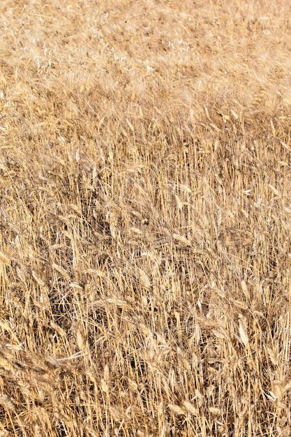 Пшеничное поле в сельской местности франции летом Бесплатные Фотографии