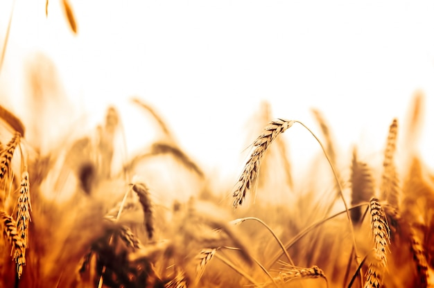 Wheat field in orange tones Free Photo