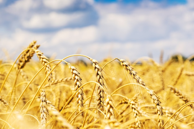 Wheat field over sky and clouds Premium Photo