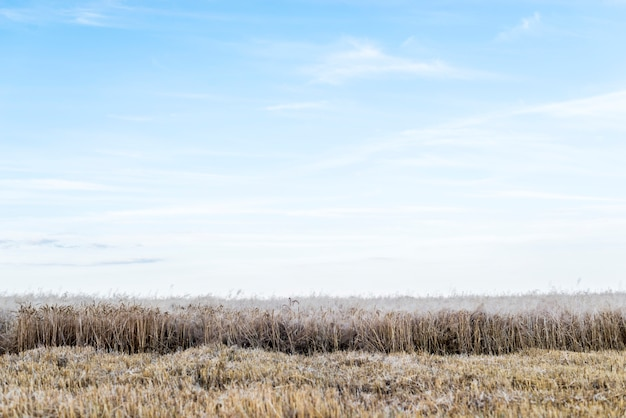 Wheat field with clear sky on background Free Photo