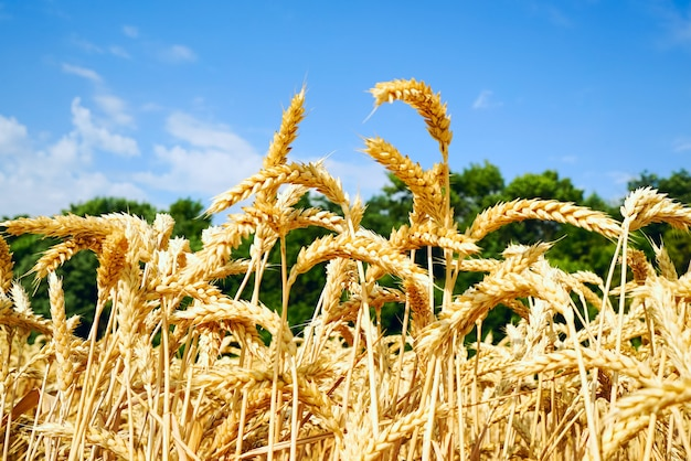 Wheat field with golden ears against the blue sky . Premium Photo