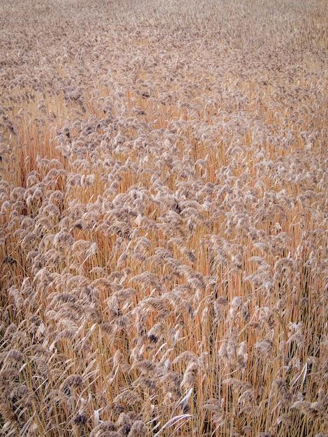 小麦畑 無料写真