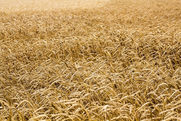Wheat spikelets in the field. wheat spikelets pattern. Premium Photo