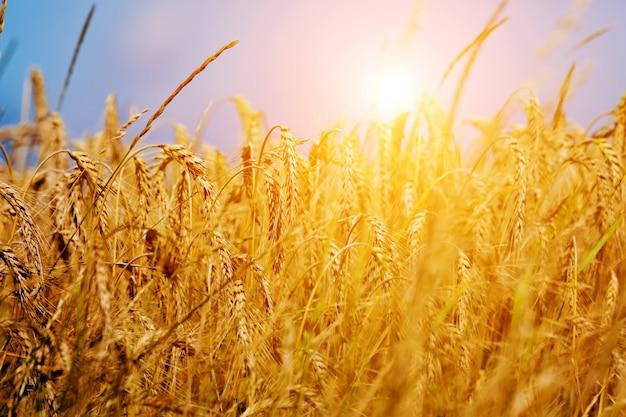 Пшеница струйка на закате Бесплатные Фотографии