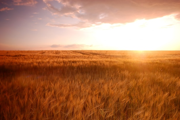Wheatfield at sunset Free Photo