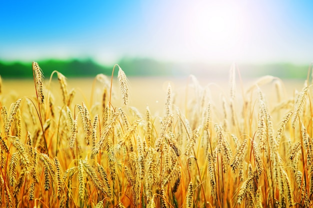 Пшениц шипы Бесплатные Фотографии