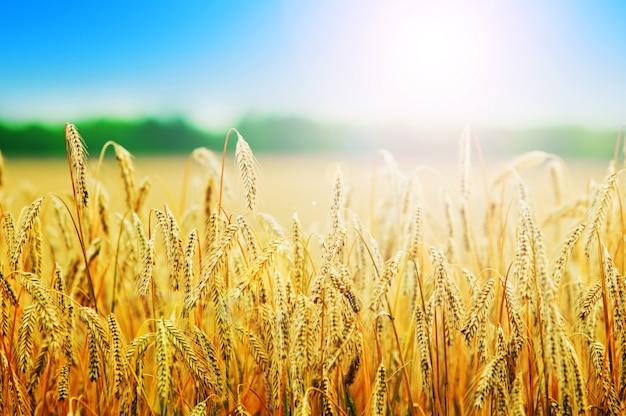 Wheats spikes Free Photo
