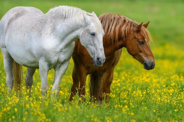 黄色い花とフィールド上の白と茶色の馬 無料写真