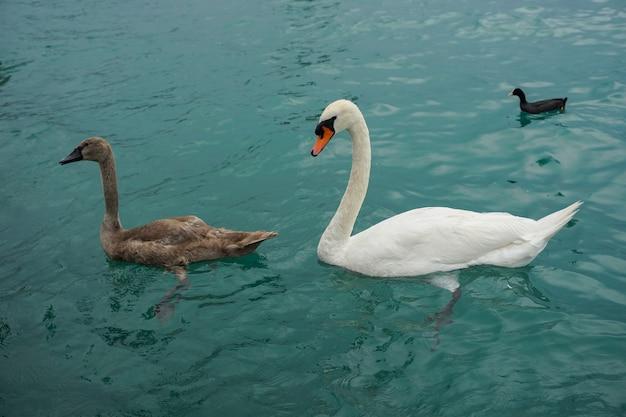 アヒルと一緒に海を泳ぐ白と茶色のツンドラ白鳥 無料写真