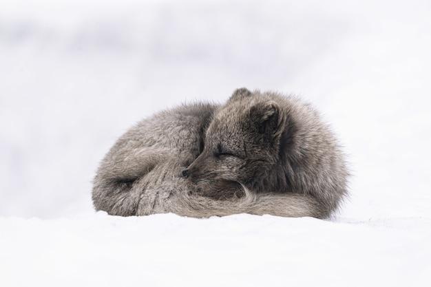 昼間は雪に覆われた地面に横たわっている白と灰色のキツネ 無料写真
