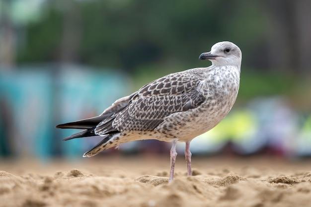 砂浜の海岸に白と灰色のカモメ鳥。 Premium写真