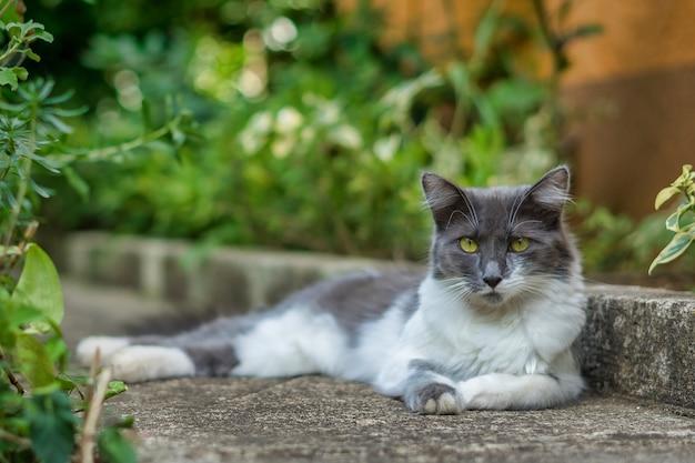 地面に横たわっている白と灰色のアジアンセミロングヘアのふわふわ猫 無料写真