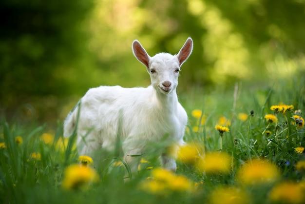 Белый козленок стоит на зеленой траве с желтыми цветами Бесплатные Фотографии
