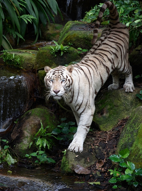 White bengal tiger on river bank Premium Photo